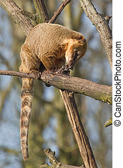 An eating coatimundi in a tree Holland