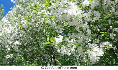 branch of apple tree - A blooming branch of apple tree in...