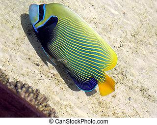 Eilat Oceanarium Flatfish - Flatfish in Eilat Oceanarium,...
