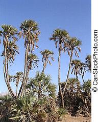 Eilat Arava Desert Oasis - Date palms in Arava desert near...