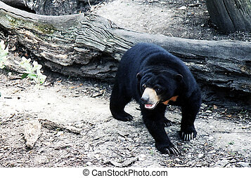 New Orleans Black Bear 2002 - Black Bear isolated in New...