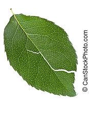torn leaf