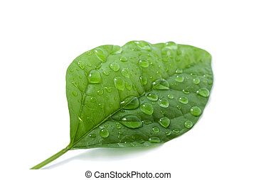 leaf with water drops isolated