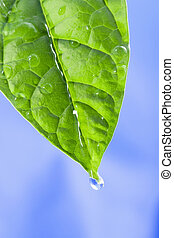 green leaf with water drops. the sky is blue