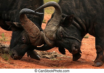 Clash of the buffalo - Two buffalo fight for dominance in...