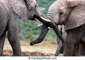 Elephants twisting trunks - Two elephant bulls fight in Addo...