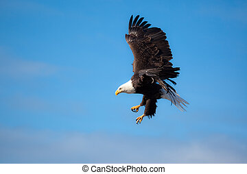 Eagle Flying Wings Spread - A Photo of an American Bald...