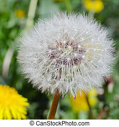 Dandelion head - Closeup photograph of dandelion head,...