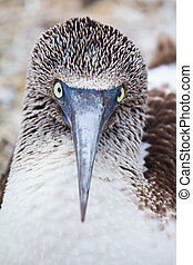 Blue-footed booby portrait - Eye contact with a blue-footed...