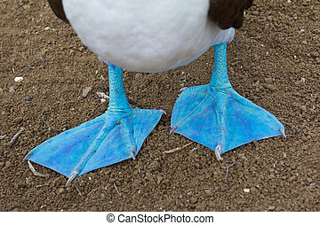 Blue-footed booby feet - Close-up of feet of a blue-footed...