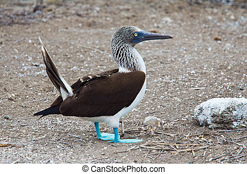 Blue-footed booby - Male blue-footed booby during courtship...