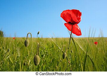 Poppies in the meadow