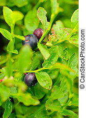 bilberry bush high up in Carpatians mountains Close up...