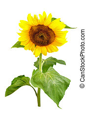 Sunflower isolated - Sunflower with green leaves isolated on...