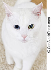 White cat with different eyes looking straight into the...