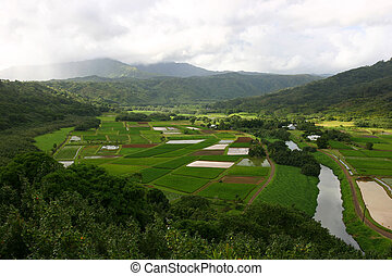 Hawaii Taro Fields - Overlook of Taro Fields in Hawaii