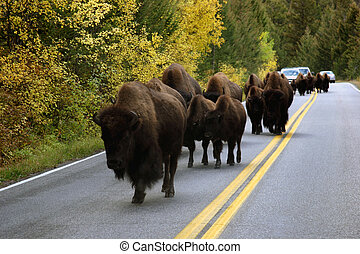 Buffalo In Road - Buffalo In The Road In Yellowstone