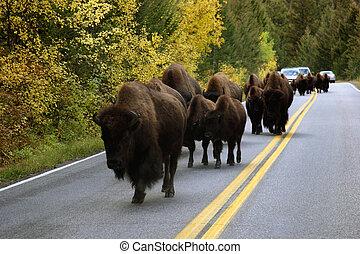 búfalo, en, camino