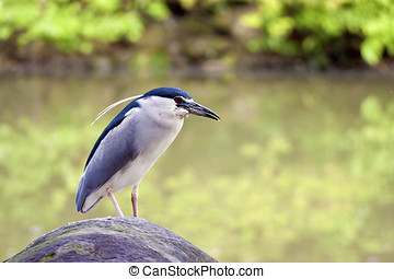 Black-crowned Night Heron - beautiful view of a bird...