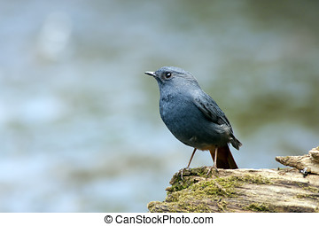 Plumbeous Water Redstart - beautiful posture of male...