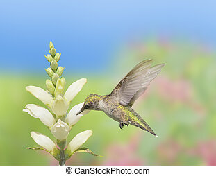 Ontario birds - Hummingbird feeding on Turtlehead, latin...