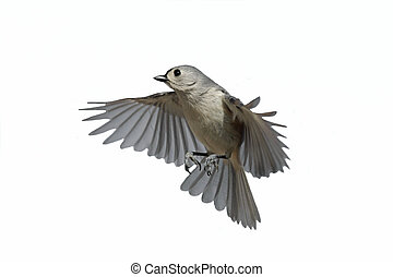 Isolated Titmouse In Flight - Tufted Titmouse (Baeolophus...