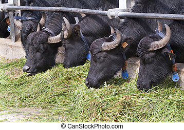 Buffaloes in a modern farm, which produces cheese and dairy...