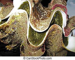 Giant Clam - A very close up of alive giant clam.