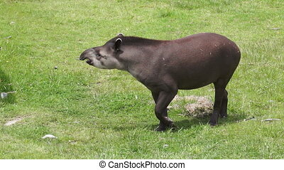 Tapir Browsing Mammal Similar to Pi - A tapir beckoning his...