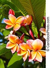 Beautiful orange flower in thailand, Lan thom flower