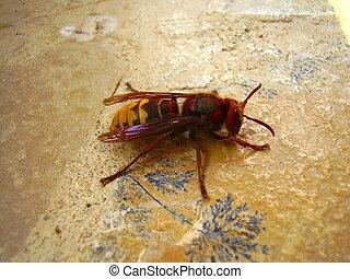 亞洲人, 大黃蜂