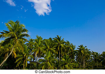 Coconut Palm with Blue sky