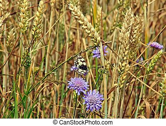 butterfly half-mourning flitting in a wheat field (France...