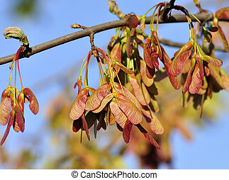 Maple Tree Branch with Red Seeds