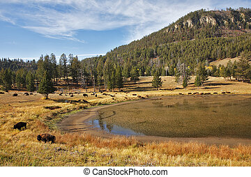 Bisons in national park of the USA - Bisons on coast of the...