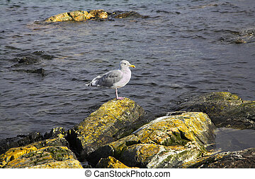 Sea bird - Picturesque coastal rocks covered by a moss and...