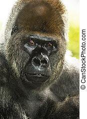 Gorilla portrait close-up in Loro Park, Tenerife