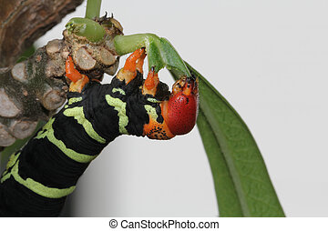 Colorful Tetrio Sphinx Caterpillar