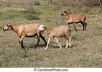 Brown Sheep in Antigua Barbuda - Three brown sheep grazing...