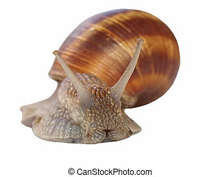 snail isolated on white background, Helix pomatia - species...