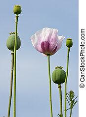 Poppy field with purple flowers on blue sky