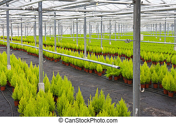 Dutch horticulture with cupressus in a greenhouse