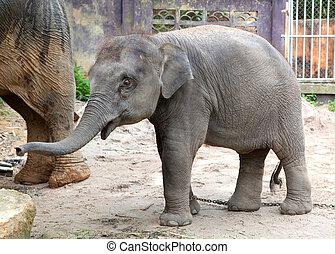 The elephant calf in park Khao Lak, Thailand