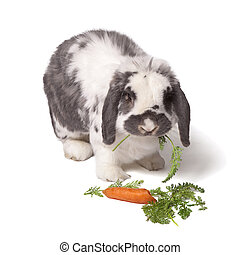 Cute Bunny Rabbit munching carrot - Cute Grey and White Lop...