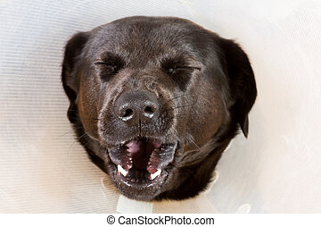 Yawning dog with funnel