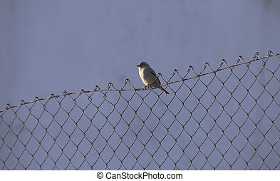 Sparrow perched on a fence