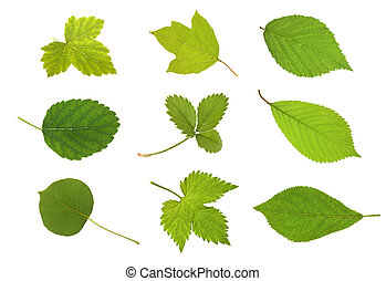Collection fruit leaves - Fruit leaves ( currant, viburnum,...