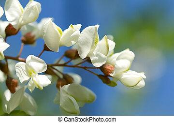 White acacia background - White acacia on a background blue...