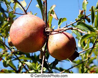 Ramat Gan Park Pomegranates - Pomegranates on a tree in...