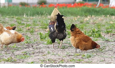 Beautiful Roosters